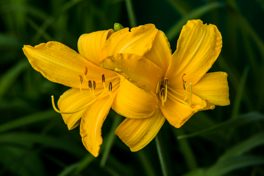 yellow day-lily: yellow day-lily flowers