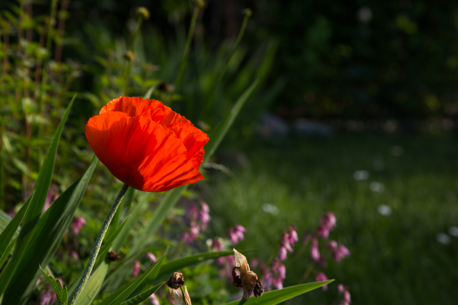 red poppy: red poppy flower