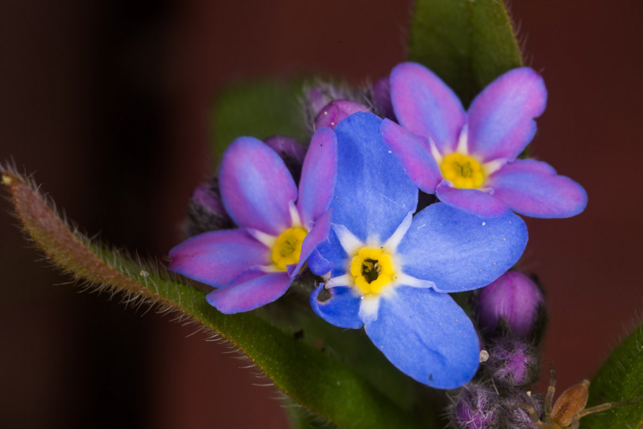 blue forget-me-not: Very tiny flowers. Macroshot with scale 3:1
