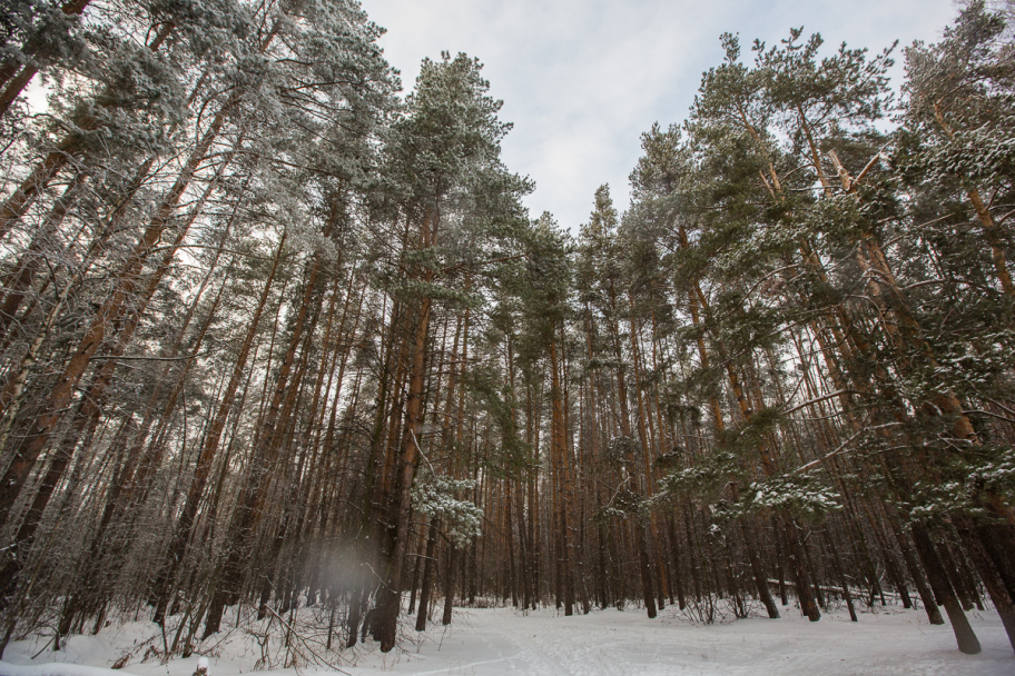 winter forest: Russian winter forest