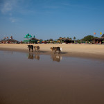 Holy cows at Candolim beach